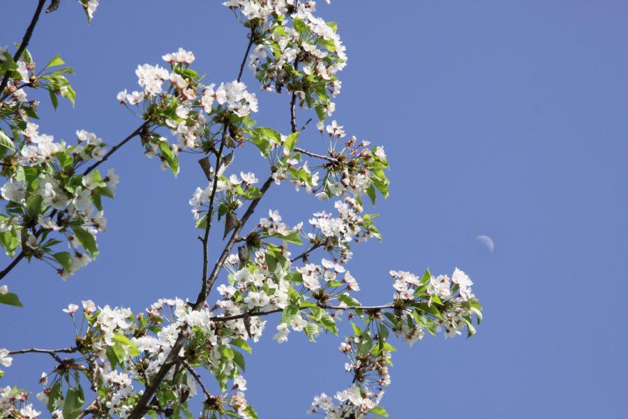 fiori ciliegi Valtidone Verde